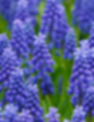 Muscari flowers grown from bulbs