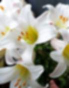 lily-regale-album-trumpet-lilium.jpg