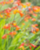 Orange crocosmia emily mckenzie