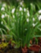 snowdrop-galanthus-nivalis.jpg
