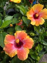 hibiscus_1.jpg