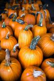 PumpkinLotSelects_017.JPG