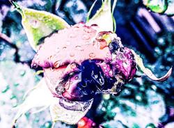 Rainy rosebud