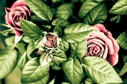 Roses by Salander