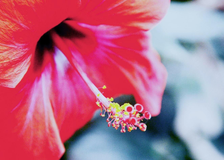 Hibiscus one