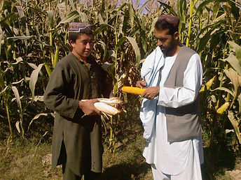 Alcis maize Afghanistan