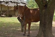 DSC_0662 naughty cow.jpg