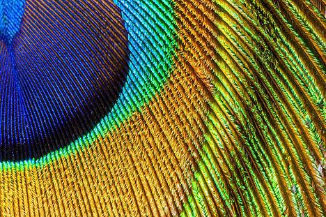 peacock feather closeup.jpg