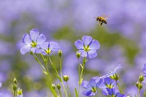 Linbakst linblomster med bie