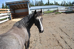 Horse Boarding, Paddocks, Eagle View Equestrian Centre Williams Lake, BC
