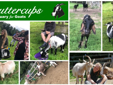 Staff and residents at Perrys Close had a great day out at The Goat Sanctuary..