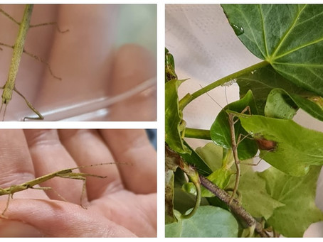 Stick Insects!!