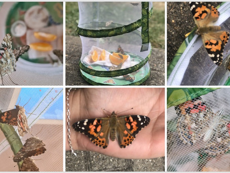 River Drive watch the different phases that caterpillars go through to become butterflies