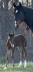 pedigree 1st foal of 2021.jpg