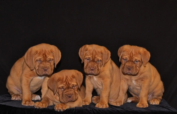 Dogue de Bordeaxu puppies for sale