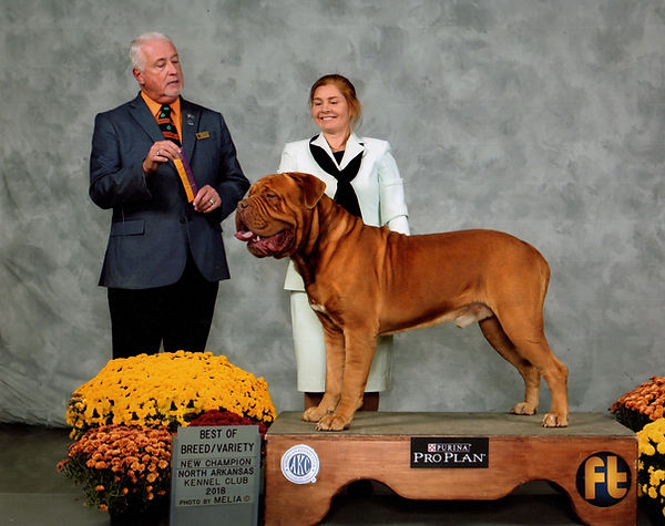 Dogue de Bordeaux AKC Champion