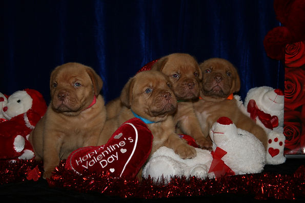 Show Kennel Dogue de Bordeaux