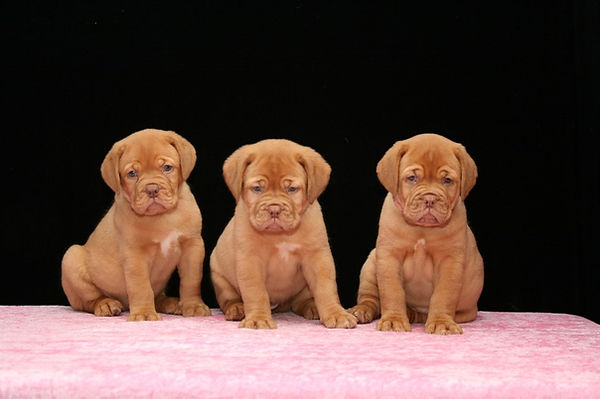 DOgue de Bordeaux show puppies