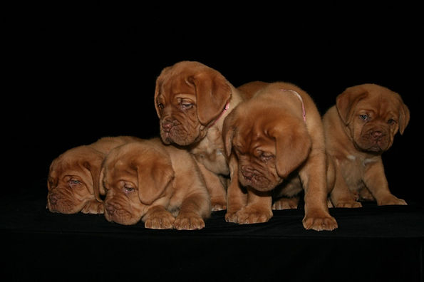 Bordeaux breeder Arkansas