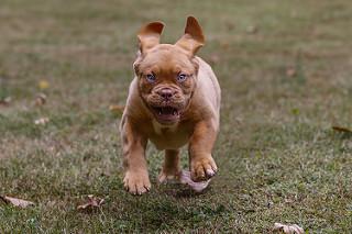 PuppyCreek's Harper 11 weeks old