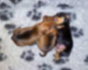 цвергпинчер, карликовый пинчер, Дель Айленд, питомник, щенки