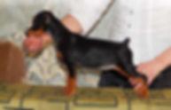 щенки,пинсер, цвергпинчер, карликовый пинчер, питомник, Дель Айленд