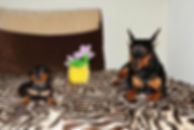 щенки, пинчер, цвергпинчер, карликовый пинчер, питомник, Дель Айленд