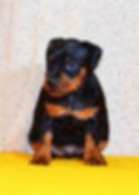 немецкий пинчер, миниатюрный пинчер, цвергпинчер, щенки, питомник, Дель Айленд
