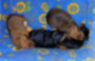 питомник, Дель Айленд, щенки, пинчер, цвергпинчер, карликовый пинчер