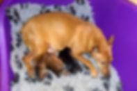 щенки, карликовый пинчер, цвергпинчер, питомник, Дель Айленд