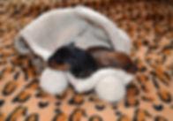 Дель Айленд-питомник,цвергпинчер,пинчер, карликовый пинчер