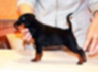 Иванна Гард Кипер-цвергпинчер, пинчер, карликовый пинчер,питомник,Дель Айленд