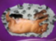 щенки, карликовый пинчер, цвергпинчер, пинчер