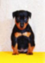 немецкий пинчер, миниатюрный пинчер, цвергпинчер, щенки, питомник