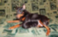 щенки, питомник, Дель Айленд, немецкий пинчер, цвергпинчер, карликовый пинчер
