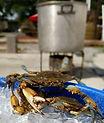 clesi live crabs.jpg