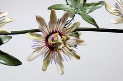 Çarkıfelek (passiflora) çiçeği.