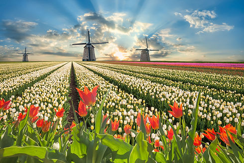 Traditional landscape with tulip flowers
