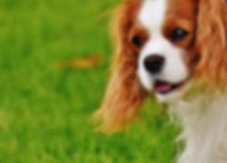 dog-cavalier-king-charles-spaniel-funny-