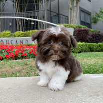 Tiny Jewel Pups Havanese