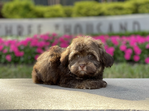 Waggles - Toy Havanese Male