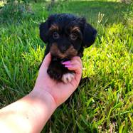 Prada Havanese Puppy 5.jpg
