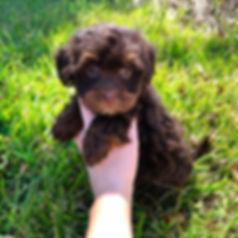 Versace Havanese Puppy 2.jpg