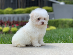 Tiny Jewel Pups Maltese