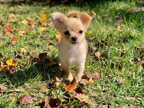Chloe - Chihuahua Female