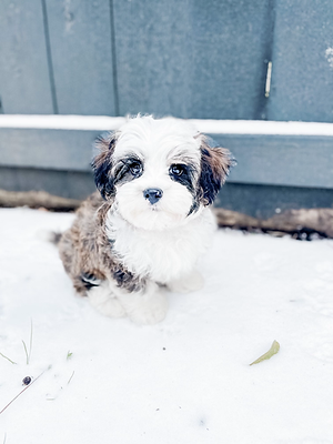 Tiny Jewel Pups Cavanese