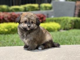 Tiny Jewel Pups Havahuahua