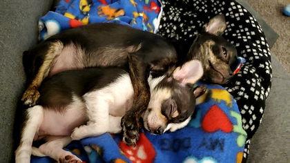 Chihuahua Babies