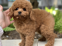 Tiny Jewel Pups Poodle