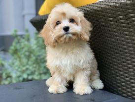 Tiny Jewel Pups